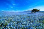 美丽的蓝色花地毯:常陆海滨公园