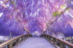 Superb purple view, Wisteria flowers are in full bloom: Ashikaga Flower Park